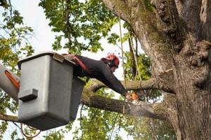 burke shrub pruning